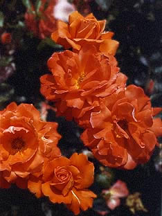 Buy the FRED LOADS, part of the Shrub Roses collection at Apuldram Roses