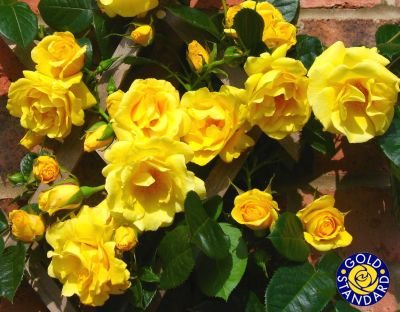 Buy the GARDENERS GLORY (Chewability), part of the Climbing Roses Ramblers collection at Apuldram Roses