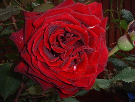 GUINEE, Beautiful Dark Red Rose
