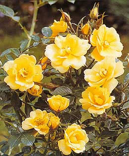 Buy the GWENT (Pouluri), part of the Ground Cover Roses collection at Apuldram Roses