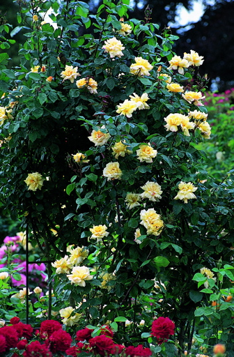 Buy the HIGHFIELD, part of the Climbing Roses Ramblers collection at Apuldram Roses
