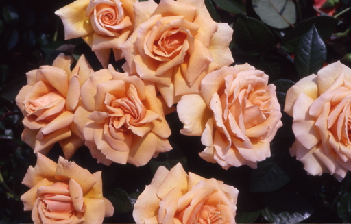 Buy the Indian Summer, part of the Hybrid Tea Roses collection at Apuldram Roses