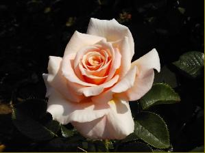 ISN'T SHE LOVELY (Diciluvit) rose