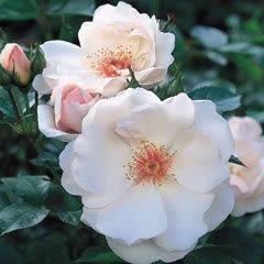Buy the JACQUELINE DU PRE (Harwanna), part of the Shrub Roses collection at Apuldram Roses