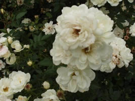 Buy the KENT, part of the Ground Cover Roses collection at Apuldram Roses