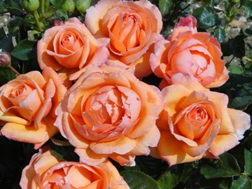 Buy the Lady Marmalade, part of the Floribunda Roses collection at Apuldram Roses