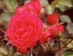 Buy the LANCASHIRE, part of the Ground Cover Roses collection at Apuldram Roses