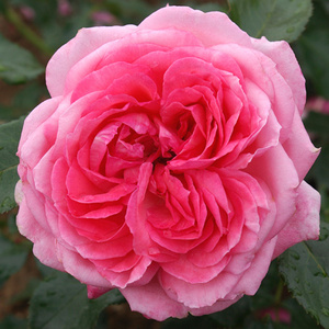 rose of the month