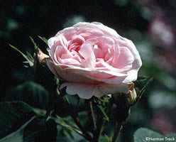 Buy the MAIDENS BLUSH, part of the Shrub Roses collection at Apuldram Roses