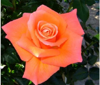 Buy the MAMMA MIA (fryjolly), part of the Floribunda Roses collection at Apuldram Roses