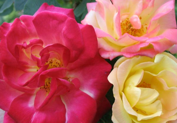 MASQUERADE CLIMBING, Beautiful Red & Yellow Rose