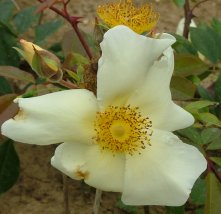 Buy the MERMAID , part of the Climbing Roses Ramblers collection at Apuldram Roses