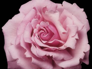 Buy the MILLIE ROSE - (Wekblunez), part of the Hybrid Tea Roses collection at Apuldram Roses