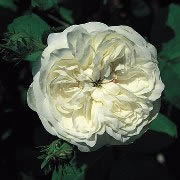 Buy the MADAME HARDY, part of the Shrub Roses collection at Apuldram Roses
