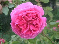 Buy the MADAME ISAAC PERIERE, part of the Shrub Roses collection at Apuldram Roses