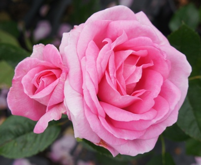 Buy the MUM IN A MILLION, part of the Hybrid Tea Roses collection at Apuldram Roses