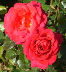 Buy the MY DAD (Boselftay), part of the Floribunda Roses collection at Apuldram Roses