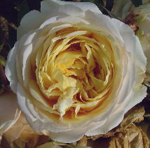 Buy the MY GIRL, part of the Hybrid Tea Roses collection at Apuldram Roses