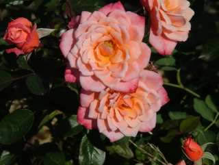 Buy the NICEDAY (Chewsea), part of the Climbing Roses Ramblers collection at Apuldram Roses