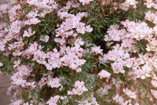 Buy the NOZOMI, part of the Ground Cover Roses collection at Apuldram Roses