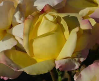 Buy the PEACE, part of the Hybrid Tea Roses collection at Apuldram Roses