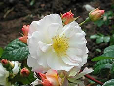 Buy the PENELOPE, part of the Shrub Roses collection at Apuldram Roses