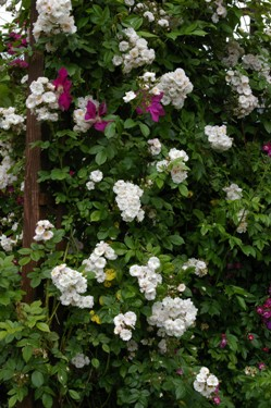 Buy the PERENNIAL BLUSH (Mehbarbie), part of the Climbing Roses Ramblers collection at Apuldram Roses