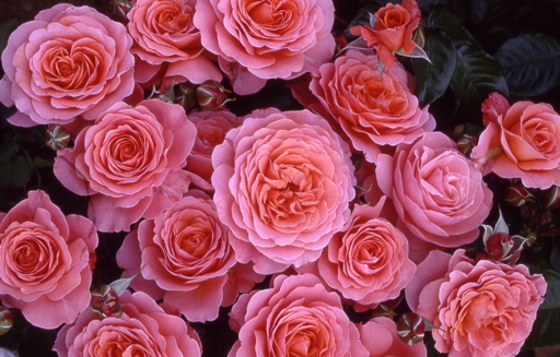Buy the PINK ABUNDANCE, part of the Floribunda Roses collection at Apuldram Roses