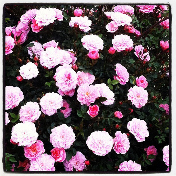 Buy the PINK BELLS, part of the Ground Cover Roses collection at Apuldram Roses