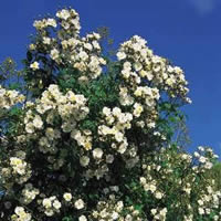 Buy the RAMBLING RECTOR, part of the Climbing Roses Ramblers collection at Apuldram Roses