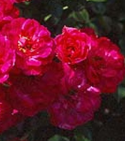 Buy the RED BELLS -, part of the Ground Cover Roses collection at Apuldram Roses