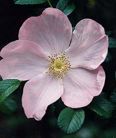 Buy the GALLICA COMPLICATA, part of the Shrub Roses collection at Apuldram Roses