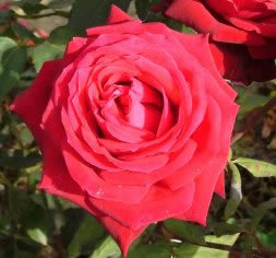 Buy the RUBY WEDDING, part of the Hybrid Tea Roses collection at Apuldram Roses
