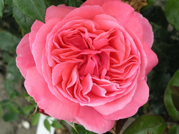 Buy the SPECIAL ANNIVERSARY (Whastiluc), part of the Hybrid Tea Roses collection at Apuldram Roses