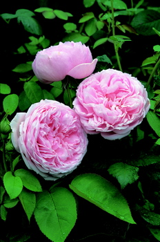 Buy the SPIRIT OF FREEDOM, part of the Shrub Roses collection at Apuldram Roses