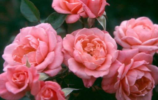 Buy the STAR PERFORMER (chewpearl), part of the Climbing Roses Ramblers collection at Apuldram Roses