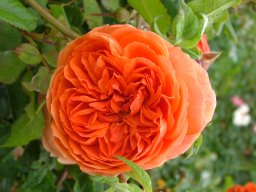 Buy the SUMMER SONG (austango), part of the Shrub Roses collection at Apuldram Roses