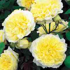 Buy the THE PILGRIM (auswalker), part of the Shrub Roses collection at Apuldram Roses