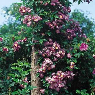 Buy the VEILCHENBLAU, part of the Climbing Roses Ramblers collection at Apuldram Roses
