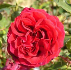 Buy the VELVET FRAGRANCE (Fryperdee), part of the Hybrid Tea Roses collection at Apuldram Roses
