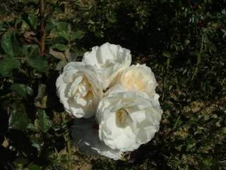 Buy the WHITE CLOUD (Korstacha), part of the Climbing Roses Ramblers collection at Apuldram Roses