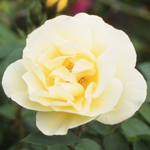 Buy the YELLOW DAGMAR HASTRUP, part of the Shrub Roses collection at Apuldram Roses